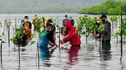 Esai Foto Presiden Nyemplung, Saat Tanam Mangrove Bersama Masyarakat Batam